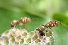 Free Wasp On Nest Stock Photography - 8463372