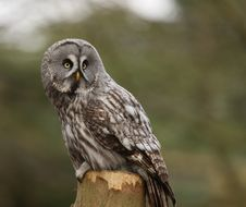 Free Great Grey Owl Royalty Free Stock Image - 8463376
