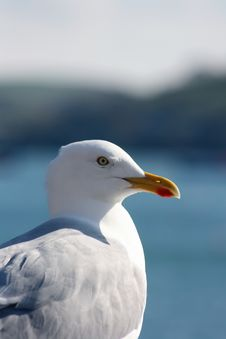 Free Seagull Stock Images - 8463424