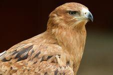 Free Tawny Eagle Stock Image - 8463551