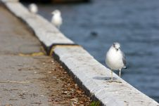 Free Seagull Royalty Free Stock Image - 8463606