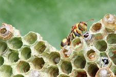 Free Wasp On Nest Royalty Free Stock Image - 8463616
