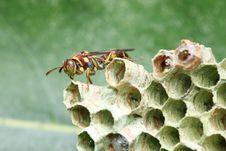 Free Wasp On Nest Royalty Free Stock Image - 8463786