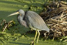 Free A Great Blue Heron Royalty Free Stock Image - 8464166