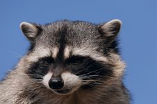 Free Raccoon Stock Photography - 8464342