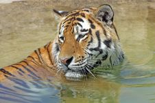 Free Bengal Tiger Royalty Free Stock Photography - 8465557
