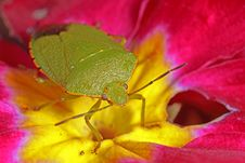 Free Stink Bug On Primrose Stock Images - 8466014