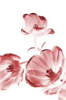 Free Pink Tulips Stock Photography - 8466882