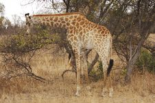 Free Giraffe Browsing Royalty Free Stock Photo - 8466925