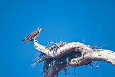 Free Nesting Female Osprey Royalty Free Stock Photo - 8467035