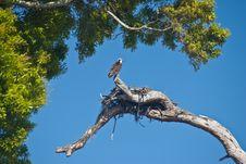 Free Nesting Osprey Stock Images - 8467044