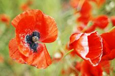 Free The Poppy Stock Images - 8467084