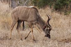Free Kudu Bull Grazing Royalty Free Stock Image - 8467286