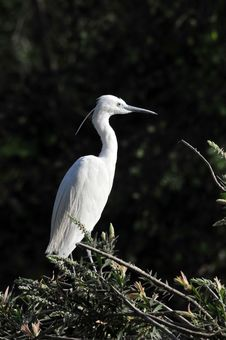 Free White Egret Stock Photo - 8467390