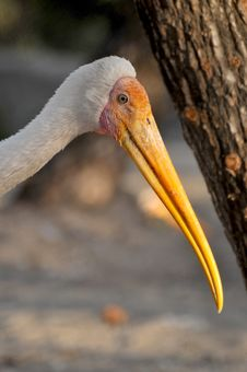 Free Closeup Of Painted Stork Royalty Free Stock Images - 8467609