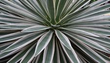 Free Agave Royalty Free Stock Images - 8468069