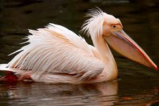 Free Great White Pelican Royalty Free Stock Image - 8468076