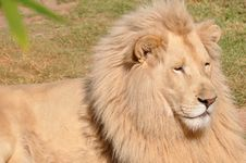 Free White Lion Royalty Free Stock Photography - 8468177