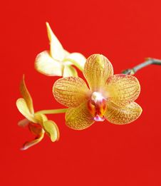 Free Yellow Orchid Stock Image - 8468881