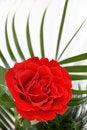 Free Red Rose Royalty Free Stock Image - 8472376
