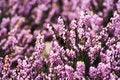 Free Pink Campanella Flowers Stock Image - 8477801