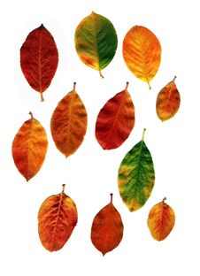 Free Leaves Royalty Free Stock Photography - 8470237