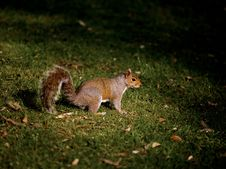 Free Grey Squirrel, Nature Royalty Free Stock Images - 8472289
