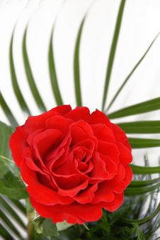 Free Red Rose Royalty Free Stock Image - 8472376