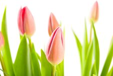 Free Bouquet Of Tulips Isolated On White Royalty Free Stock Photography - 8472807