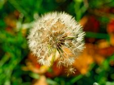 Free Dandelion Royalty Free Stock Images - 8473209
