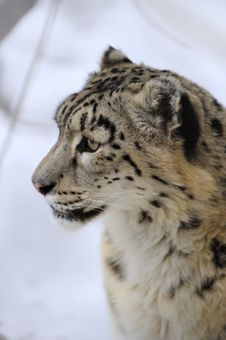 Free Snow Leopard Stock Images - 8474364