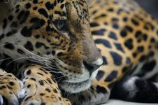 Free Portrait Of Jaguar Stock Image - 8474371