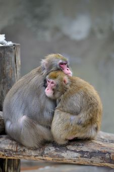 Free Pair Of Monkeys Royalty Free Stock Photography - 8474387