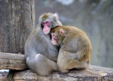 Pair Of Monkeys Royalty Free Stock Photo