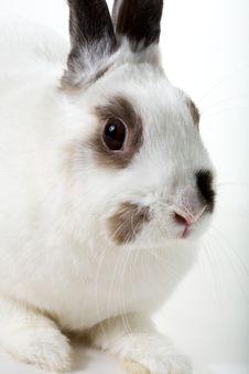 Free White Rabbit Royalty Free Stock Photos - 8474548