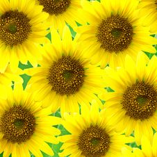 Free Sunflowers Royalty Free Stock Image - 8474656