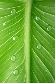 Free Tropical Leaf With Dew Droplets Royalty Free Stock Photo - 8474775