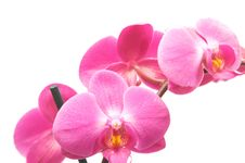 Free Orchid Royalty Free Stock Photo - 8474815