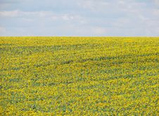 Free Sunflower Field Stock Images - 8476414