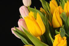 Free Tulips Royalty Free Stock Photo - 8476525