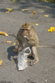 Free Green Monkey Eats On The Road. Stock Photography - 8476762