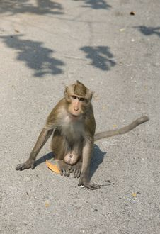 Free Green Monkey On The Road. Stock Images - 8476824