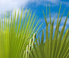 Free Palm Leaves Royalty Free Stock Photography - 8477117