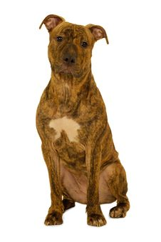 Free Staffordshire Terrier Dog Royalty Free Stock Photo - 8478245
