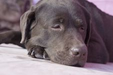 Free Labrador Stock Photo - 8479030