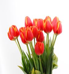 Free Tulips Royalty Free Stock Images - 8479149