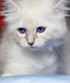 Free Siberian Kitten Royalty Free Stock Images - 8479189
