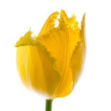 Free Tulip Stock Image - 8479221