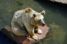Free Brown Bear Stock Photo - 8479320