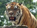 Free Bengal Tiger Stock Images - 8480054